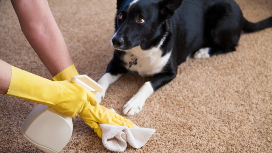 How To Get Dog Poop Out Of Carpet With Minimal Efforts